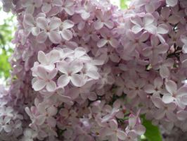 Lilacs growing high up1 by blackroselover
