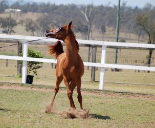 GE Arab filly chestnut turning twisted front view by Chunga-Stock