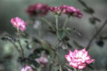 Tone Mapped Roses by XanthusKidd