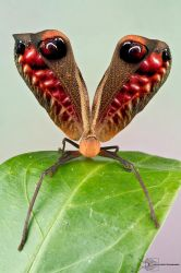 Peacock Katydid by ColinHuttonPhoto