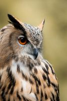 eagle owl by schneids