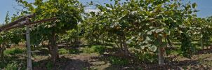 Greece 2013 06 - Kiwi Plantation by thenata