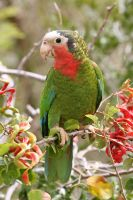 Bahamian Parrot Inagua by PatriciaVazquez