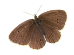 Brown Butterfly PNG by Bunny-with-Camera