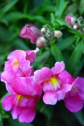 Snap Dragons by VictoriaLPF