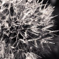 Dandelion 00 by Aiae