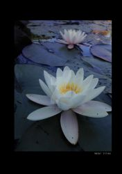 Water Lilies by experiment313