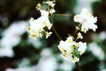 Snow flowers by MelieEinaleM