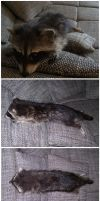 Young raccoon soft mount by DeerfishTaxidermy