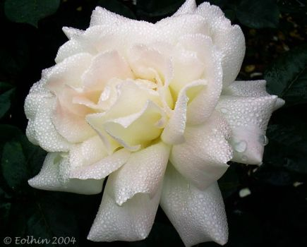 Pearl White Rose 260 by Eolhin