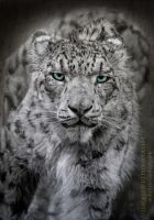 Snow Leopard by AmBr0