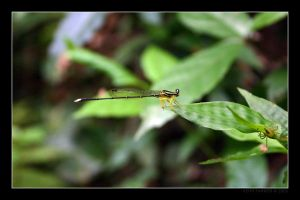 Damselfly and Spider by Keith-Killer