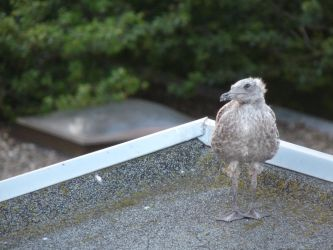 Little ugly Seagull by Rominique