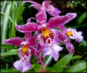 Purple Orchid by flightresponse