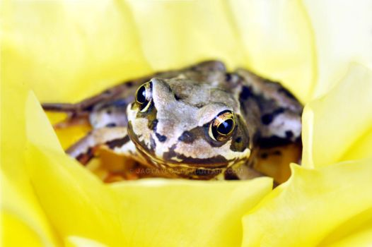 THE FROG by jactaylor