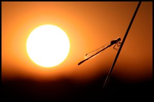 Dragonfly Sunset II by fatclaw