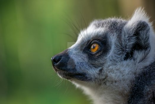 Lemur by Perseus67