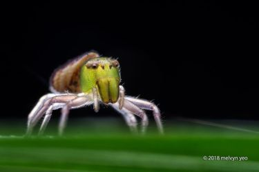 Crab Spider (Alcimochthes sp.) by melvynyeo