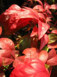 Red-Pink Leaves by Lissou-photography