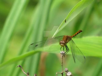 Dragonfly by craftywench-nh