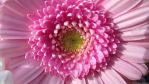 Pretty In Pink (Macro) by Mr-Grumpy1