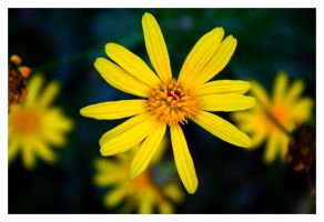 Yellow Flower III by FilipaGrilo