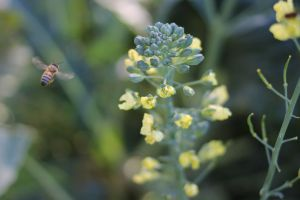 Bee buzzing around broccoli by cognisant
