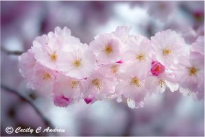 Dreaming of Cherry Blossoms III by CecilyAndreuArtwork