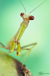 Praying mantis by ColinHuttonPhoto