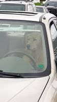 dog driver 2 by BlueIvyViolet