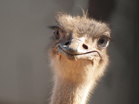 An Ostrich smile by alont