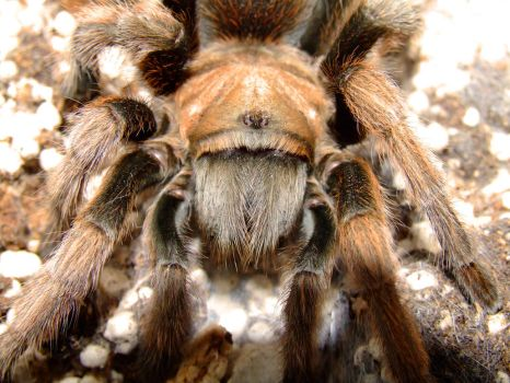 A. chalcodes Face by pitbulllady