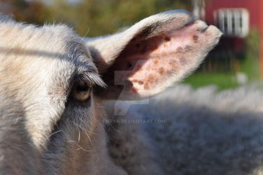 voice of sheep by Empya