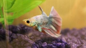 Betta Fish II. by Yelyac