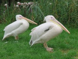 Two Pelicans at London zoo by Candyfloss-Unicorn