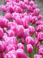 Tulips 25 by whisper-n-the-wind