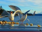 Gluttenous Seagulls by wolfwings1