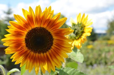 sunflower by mimose-stock