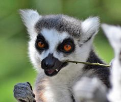 Ring-tailed Lemur by CharlyJade