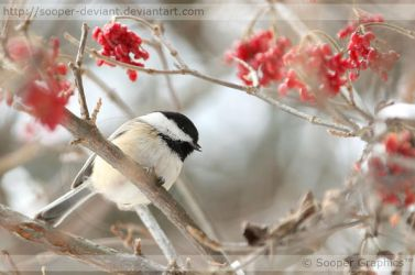 Black-capped Chickadee 9744 by Sooper-Deviant