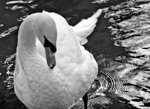 Swan in San Francisco by hotwiar