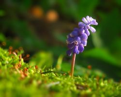 Grape Hyacinth by VBmonkey26