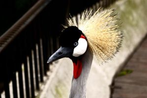 Grey Crowned Crane by BenJuarez