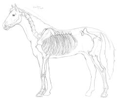 Horse ref from Animal Anatomy by wolfwaters