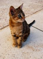 EGYPTIAN CAT by ANOZER