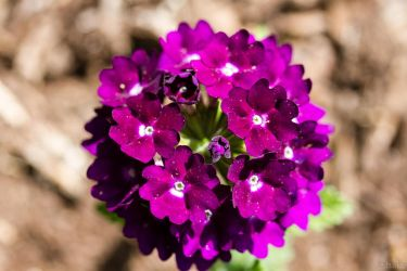 Verbena by cshake