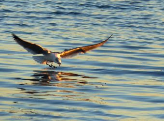 SunsetGull by ecfield