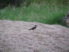 West MacDonnells - Black-Fronted Dotterel by TricoloreOne77