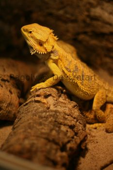 Adult Bearded Dragon by Bagoly