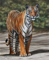 Bengal Tiger. Oil on panel. by painterman33